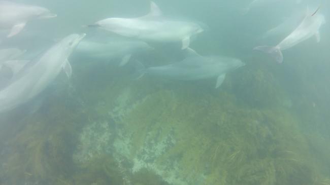 dauphins kangaroo island