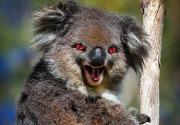 koala halloween