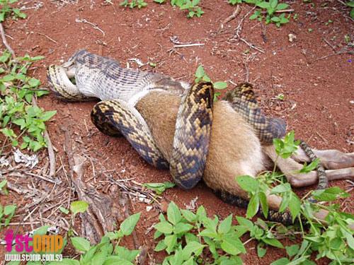 Python - Kangourou