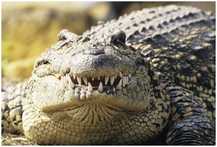 Cuban crocodile (Crocodylus rhombifer), showing teeth, close-up