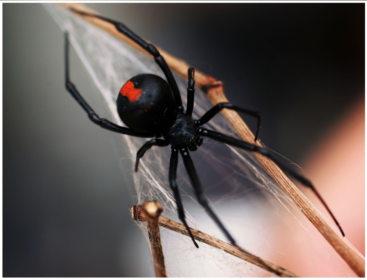 redback_spider_131120_getty